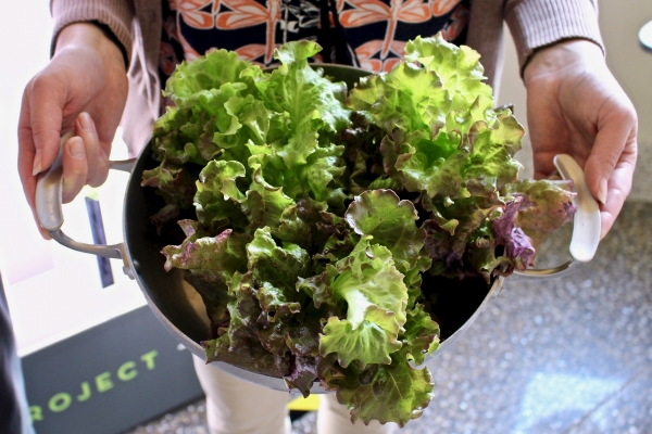 Lettuce from the Hydroponic Garden